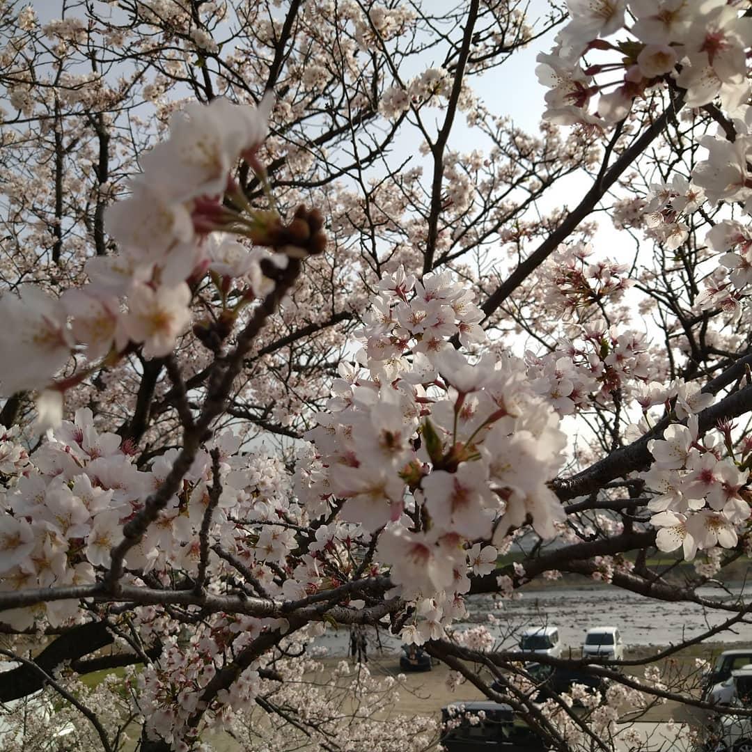 武丈の桜 2021/3/29