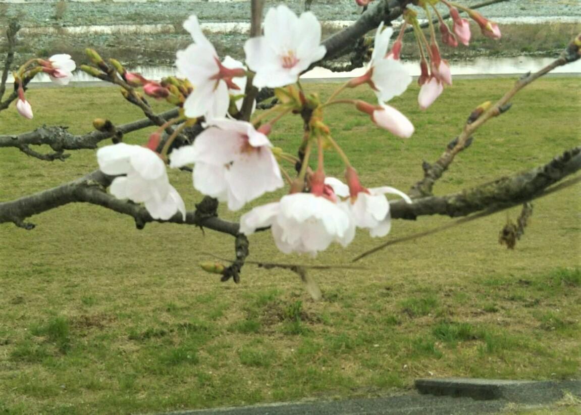 武丈の桜 開花状況 2021年3月22日(月)